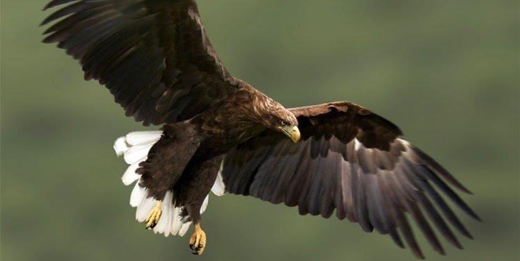 ماجرای عقابی که پژوهشگران را ورشکست کرد